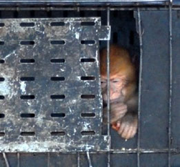 Malheureux singe magot arraché à sa forêt de cèdres...@Michel Aymerich