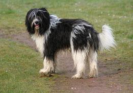 Wikipedia_Jennifernl123 Angela van Lieshout_Nederlandse Schapendoes / Dutch Sheepdog