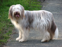 Wikipedia_marbla123_Bearded Collie