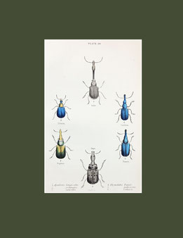 Apoderus longicollis