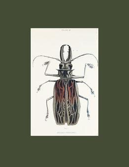 Prionus Cervicornis