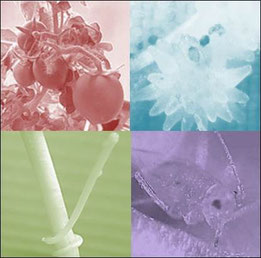 Green Solar Collectorモデル生物たち。左上:トマト、右上:オロバンキ、左下:ネナシカズラ、右下:アブラムシ