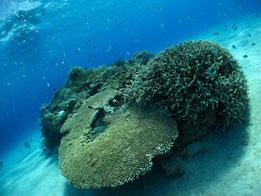 ケラマ諸島の綺麗なサンゴ☆