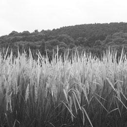 矢野酒造場の原料米は地元大分県産ひのひかり