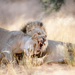 kalahari desert botswana south africa