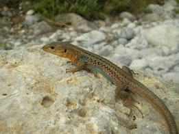 Peloponnesosmuurhagedis (Podarcis peloponnesiacus) mannetje
