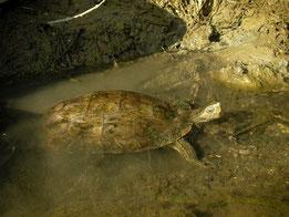 Balkanbeekschildpad (Mauremys rivulata)
