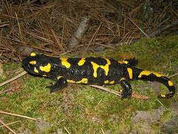 Vuursalamander (Salamandra salamandra) wijfje