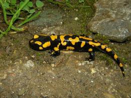 Vuursalamander (Salamandra salamandra) juveniel