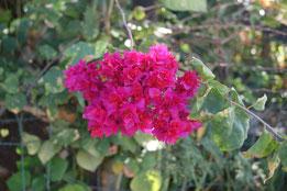bougainvillée fleur double