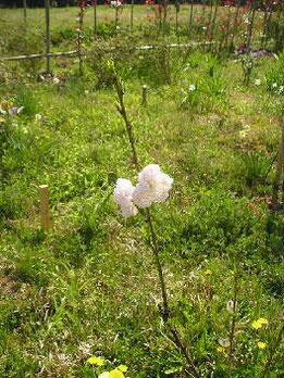 河原さんの花もも
