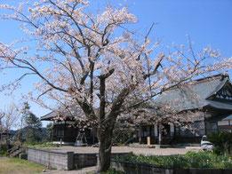 満開の寺の桜。老木ながら毎年見事に花を咲かせます。