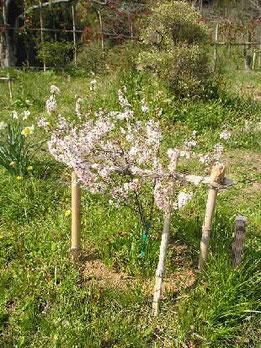 永桶さんの庭桜