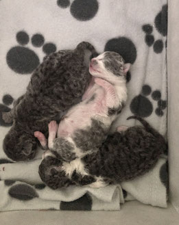 Adhara Arktur Westerfeld´s German Rex Kitten