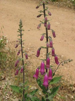 DIGITAL, DEDALERA (Digitalis purpurea). Los cuchillos. P. N. Sierra Norte