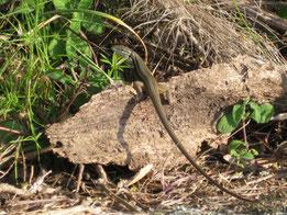 LAGARTIJA COLILARGA (Psammodromus algirus). Travesía del Aljibe, P. N. Los Alcornocales