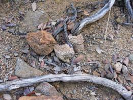 CULEBRA DE ESCALERA (Elaphe scalaris), joven. Minas de Teuler, P. N. Sierra de Aracena