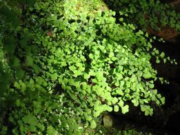 CULANTRILLO (Adiantum capillus-veneris). Cascadas del Huéznar, P. N. Sierra Norte