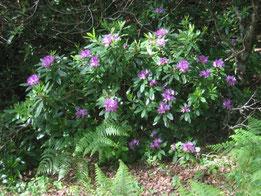 RODODENDRO (Rhododendron spp.). Travesia del Aljibe, P. N. Los Alcornocales