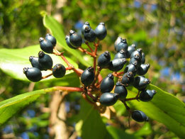 DURILLO (Viburnum tinus). Aramarlinara, P. N. Sierra de Aracena