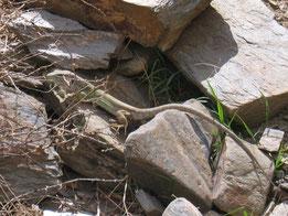 LAGARTO OCELADO (Lacerta lepida), adulto. Vereda de la Estrella, P. N. Sierra Nevada