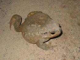 SAPO COMUN (Bufo bufo). Torrecilla (nocturna), P. N. Sierra de las Nieves