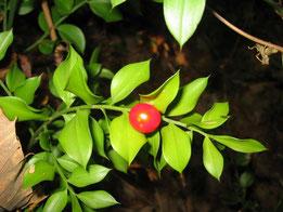 RUSCO, ACEBILLO, ACEBO MENOR (Ruscus aculeatus). Ruta de las castañas, P. N. Sierra de Aracena