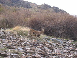 CABRA MONTES (Capra hispanica), macho adulto. Vereda de la Estrella, P. N. Sierra Nevada