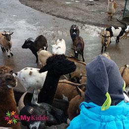 Ziegen und Alpakas bei der Fütterung