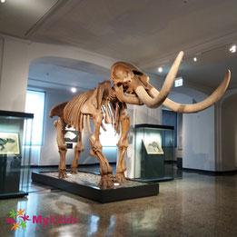 Mammutskelett im Museum