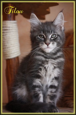 Maine Coon  in blue silver classic tabby