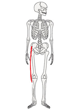 整体師の足の筋肉