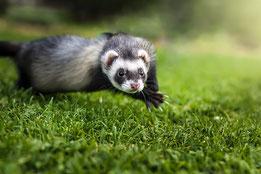 Image d'un hamster, petit rongeur