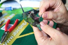 La EB del Manu es uno de los pocos lugares de América del Sur donde se anillan colibríes
