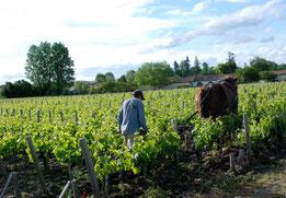 Arbeit im Rebberg von Châteaux Latour, Pauillac