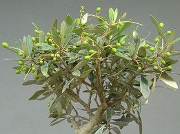 Fruchtansatz an einem Olivenbaum, Olea europaea