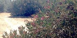 Oleander Insel Naxos, Wild Oleander