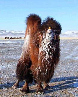 Kamel Wüstenherscher