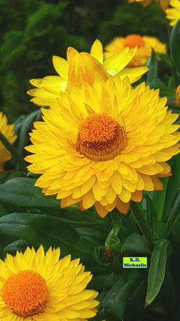 Nahaufnahme einiger sonnengelber Blütenstände einer Strohblume - halb geöffnet und vollständig aufgeblüht - von K.D. Michaelis