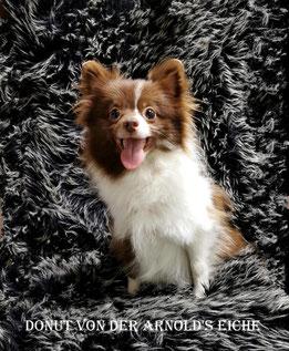 """Pomeranian Hündin Hündin Rufname """"Sweety""""."""