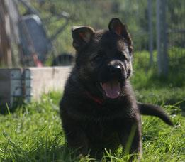 Bitte anklicken und Sie kommen zu Working-Dog Zuchtplanung