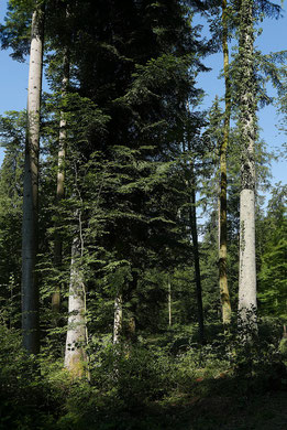 Mehrstufiger Dauerwald/Plenterwald bei Sulz (Aufnahme J. Keller 03.06.20)