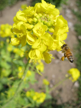 春の菜の花とミツバチの写真