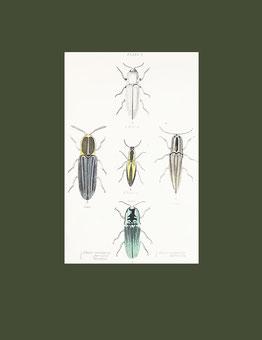 Elater noctilucus