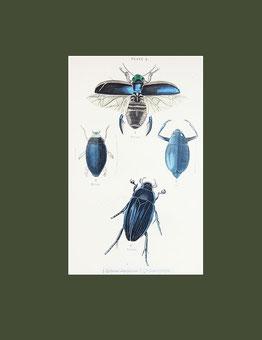 Dytiscus dimidiatus