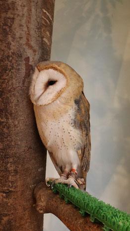 フクロウ、メンフクロウ、鳥、小動物、動物の写真フリー素材 Owls, Barn Owls, Birds, Small Animals, Animals Photos Free Material
