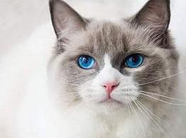 """Katze """"Ashanti """" Originalfoto der Kundin"""