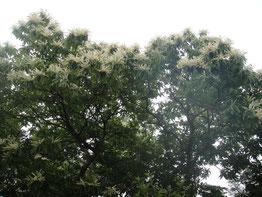 栗の巨木が、裏山に5~6本あります