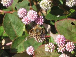 山形よりミツバチの巣箱が越冬しています。ヒメツルソバの蜜を吸う蜜蜂