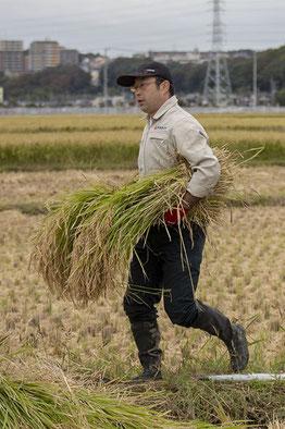 秋の「稲刈り会」。蔵のスタッフが総出で走り回る!